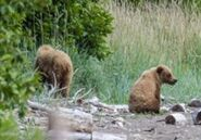 INFO BEARS SEEN 2016.06.19 14.23 402 w 2 REMAINING YEARLINGS RANGER DAVE PIC 01 ONLY ZOOM 2 YEARLINGS ONLY