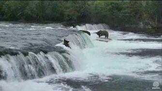 151 Walker Slides Down Brooks Falls ~ 8.4
