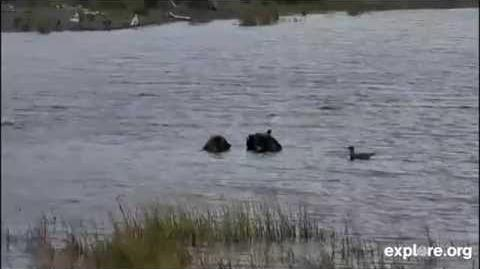 435 Holly's Adopted Yearling (503) and Spring Cub (719) Share a Fish September 16, 2014 video by JoeBear