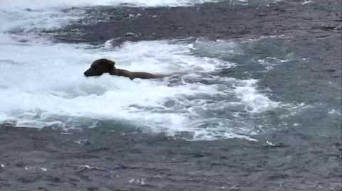Bear Cam - Brooks Falls Cam 07-10-2017 09 00 08 - 09 59 59