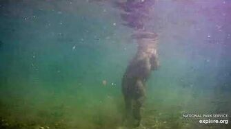 Underwater camera view of Brown Bear and Salmon by RGW (aka CamOp Greg)