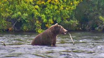 Brown Bear 503 in 2017, Brooks River, Katmai National Park, Alaska by GreenRiver
