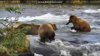 Drama! looter bear cub gets swept over falls after taking 806 Lip Fisher's fish 9 24 2017 video by Ratna Narayan