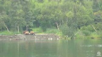 3 00 pm 07 06 2016 mom 708 Amelia meets mom 273 with cubs Katmai by Mickey Williams