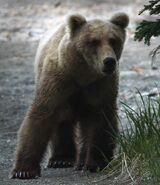 INFO BEARS SEEN 2015.06.07 KARA STENBERG PIC OF BEAR RECENTLY SEEN
