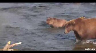 Katmai National Park & Preserve, Brooks Bear Camp, Alaska - 402 & cubs Part 1 , 10 2 2013 video by Linda R