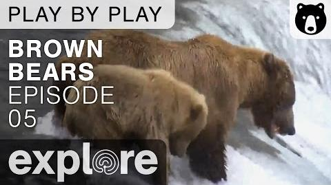 Brown Bear Play By Play - Ranger Mike Fitz - July 6, 2016 Explore Bears & Bison video