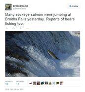 INFO SALMON 2015.06.16 12.08 BC TWEET MANY SOCKEYE SALMON JUMPING AT FALLS & REPORTS OF BEARS FISHING TOO