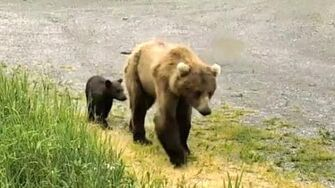 Thin mom bear and her new cub. Explore