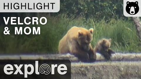 Velcro and Mom - Just The Two Of Us - Katmai National Park - Live Cam Highlights 2015 Season