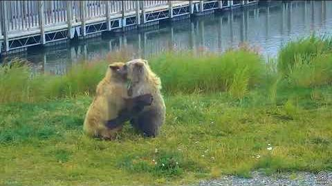 2 Subadults (610 maybe & who) playing on grassy point LRE cam 08 13 2017 20 18 video by SteveCA