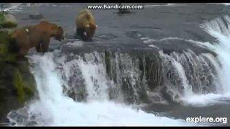 Explore org bearcams Brooks Falls cam, video by Martina