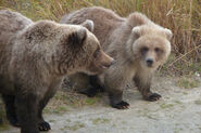 HOLLY 435 PIC 2014.10.05 ADOPTED YEARLING 503 L & SPRING CUB 719 R NPS PHOTO