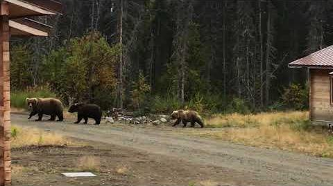 128 and yearling cubs taking over valley road housing area - Fall 2017 by KatmaiBears-0