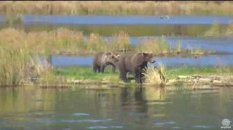 2 25 pm 090116 708 and 2 yearling cubs part 2 Katmai National Park and Explore by Mickey Williams