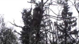 3 CUBS IN A TREE, KATMAI NP by Michael Smith July 2013