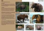 469 page 74 2018 Bears of Brooks River book