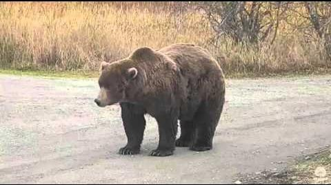 Bear 868 sauntering along spit road 10.11