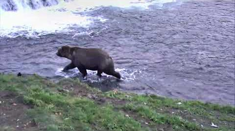 Brooks Falls Brown Bears 10-10-2018 03 00 10 - 04 00 00