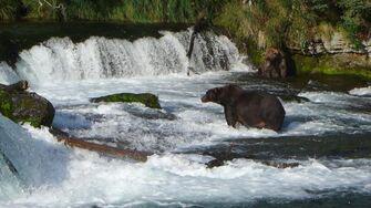 Brooks River-Katmai National Park 2013 Season by Gregg Burch