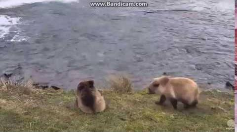 Katmai Furry Siblings 284's coys October 19, 2016 video by LuvBears