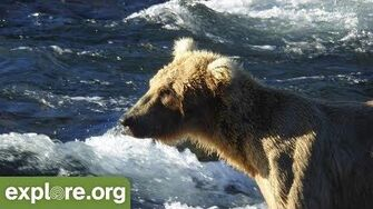Meet 128 Grazer - Bears of Brooks Falls, video by Explore Live Nature Cams
