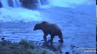 "Unknown ""hump"" bear near the platform 7 31 2019, video by Lani H"