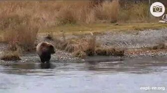 Bear 854 Divot (not 171) with her cub at Katmai Oct 13, 2014, video by MsDebbiB