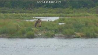 Bear sub adult 610 wants to play with 809 (?) Velcro UW Cam Brooks Falls Katmai by Erum Chad