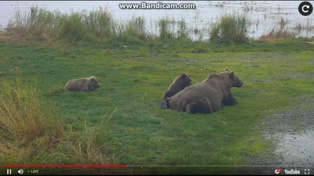 402 & Spring Cubs Resting Near Bridge 2018-09-21 by Birgitt