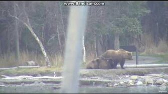 Bear 39 (not 171) with 3 cubs brooks falls Katmai Part 1 2016 10 21 21 28 47 080, video by Erum Chad