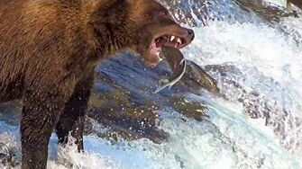 Brooks Falls Brown Bears Catching Salmon In Mid-Air Up Close In Slow-Motion 2019, video by Drew Kaplan-0