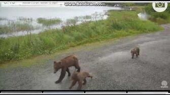 Sow with 2 cubs (id?) 2016 07 24 11 13 18 018 by StMango (btb 504 w yearlings 821 & 831)-0