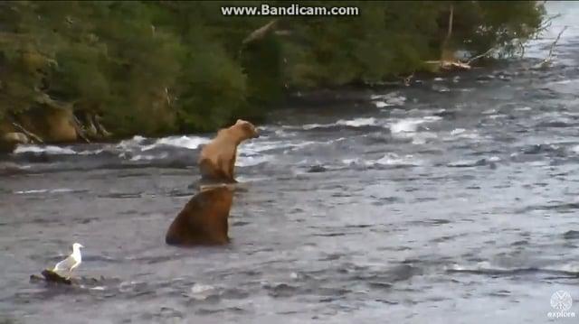 Bear 856's Love Triangle July 7, 2016 video by Jeanette Koenig