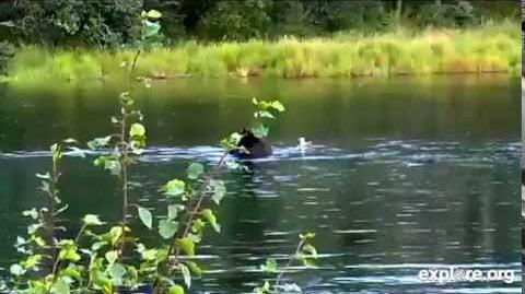 Studly bear 879 snorkeling on the lower river August 30, 2014 video by JoeBear