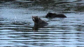A couple of bears natural habitat at Brooks Dr Arif Herekar, 2014 video-0