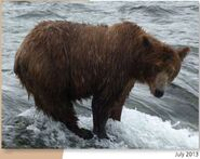 NOSTRIL BEAR 813 PIC 2013.07.xx NPS PHOTO 2015 BoBr PG 46 01