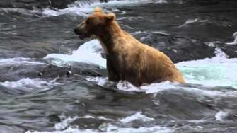 Young brown bear running in Brooks River 2015.??
