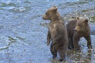 BEADNOSE 409 PIC 2016.07.19 HER 2 SPRING CUBS 909 & 910 TRUMAN EVERTS POSTED 2020.02.02 08.05