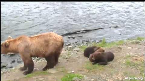 Katmai 7-23-13 10pm Mom & Cubs by Live Video and Webcams Of The World