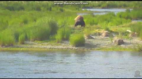 Return of bear 480 Otis LR cam Brooks Falls Katmai 2017 07 06 video by Erum Chad (aka Erie)