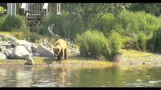 Bear Limping Out of Woods - 7 2 2020 by Whitefish Bay