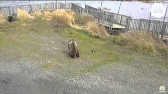Holly 435, cub and 503 1 15pm AKDT 10 15 15 Katmai National Park, video by Mickey Williams