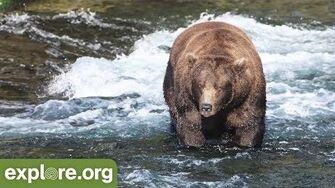 Meet Bear 856 - Bears of Brooks Falls by Resident Naturalist Mike Fitz iwth Explore