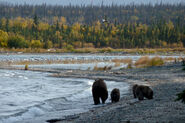 132 PIC 2014.10.01 w 3 SPRING CUBS NPS PHOTO KNP&P 2015.06.23 PREV ON BEARCAM BLOG