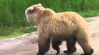 Alaska 20120706 11 Bear walking on trail by endoplasmic1357