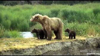 Bear 171 and cubs 2019, video by Deanna Dittloff