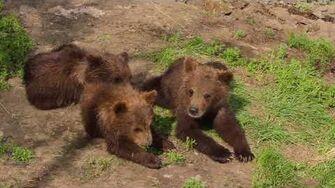 Brown Bear Cubs in Katmai National Park, Alaska - Matt Hirt (beginning half 608 with 2 spring cubs in 2010, 2nd half 402 with 3 spring cubs ~ 503 Cubadult ~ in 2013)