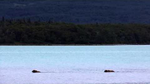 Courting Pair in Lake Naknek July 1, 2015 by Mso Belle-2