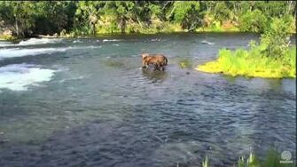8?? 6-26-16 755 scare D Bear leaves 410 and 747 leave the Falls Katmai National Park and Explore by Mickey Williams-0
